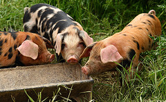 pigs_at_trough_james_dennett